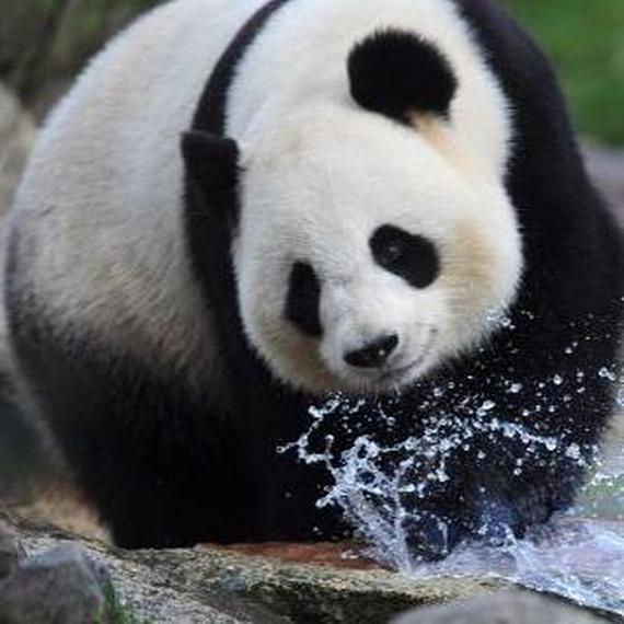 collecte pour la sauvegarde des pandas géants