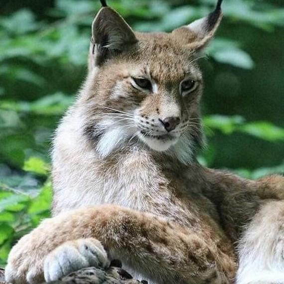 La quête du Lynx Boréal