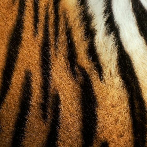 projet de conservation du lynx Boréal grâce à vos dons
