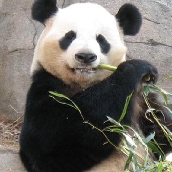 Queen Fu Panda !! On vous pandasse !!!